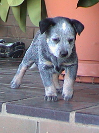 Puppy #1 - Bella - 7.5 weeks old - Hey don't forget to VOTE for ME!