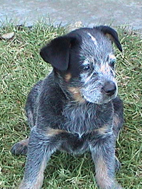 Puppy #2 - Zak - 7.5 weeks old - Hey don't forget to VOTE for ME!